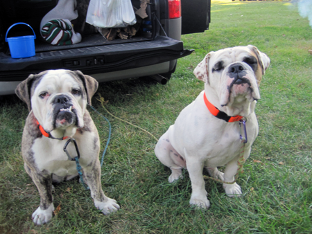 two_bulldogs