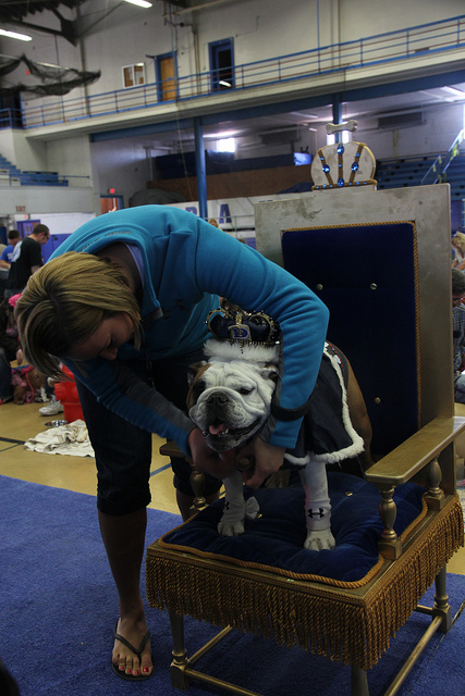beautifulbulldogcontestwinner2012_tyson