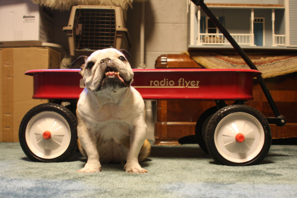 redwagon_bulldog