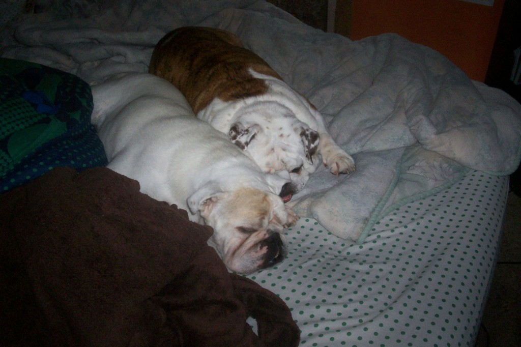 Two Bulldogs Snuggling