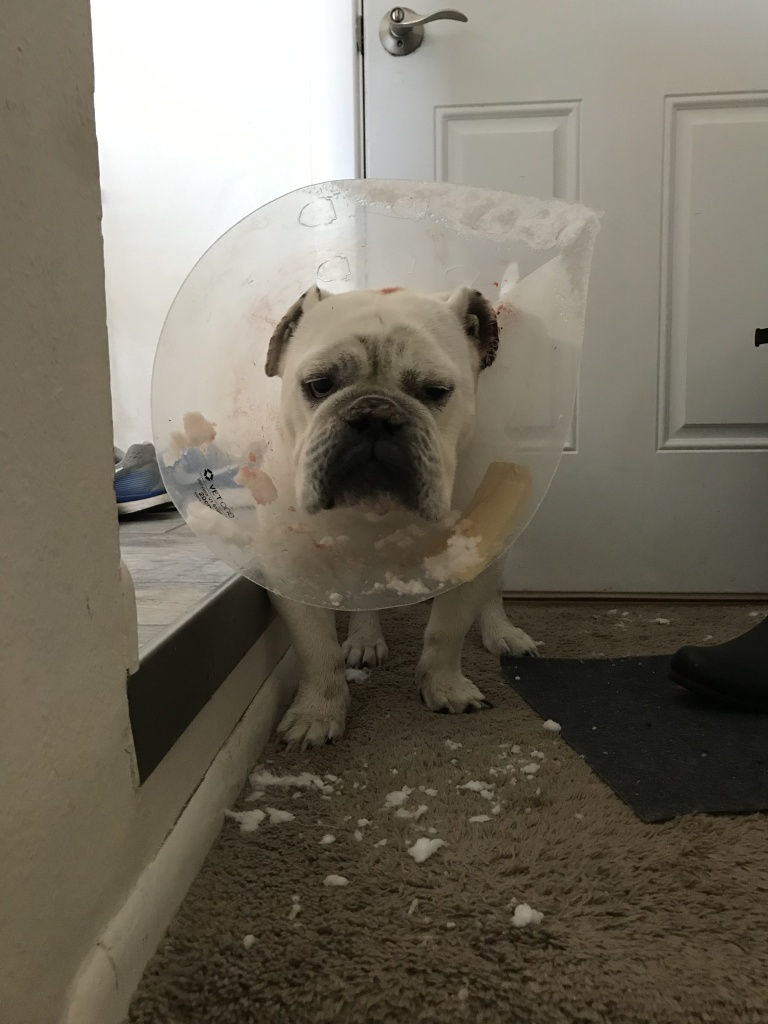 The sad aftermath of a lacerated bulldog ear - and a cone of shame full of snow
